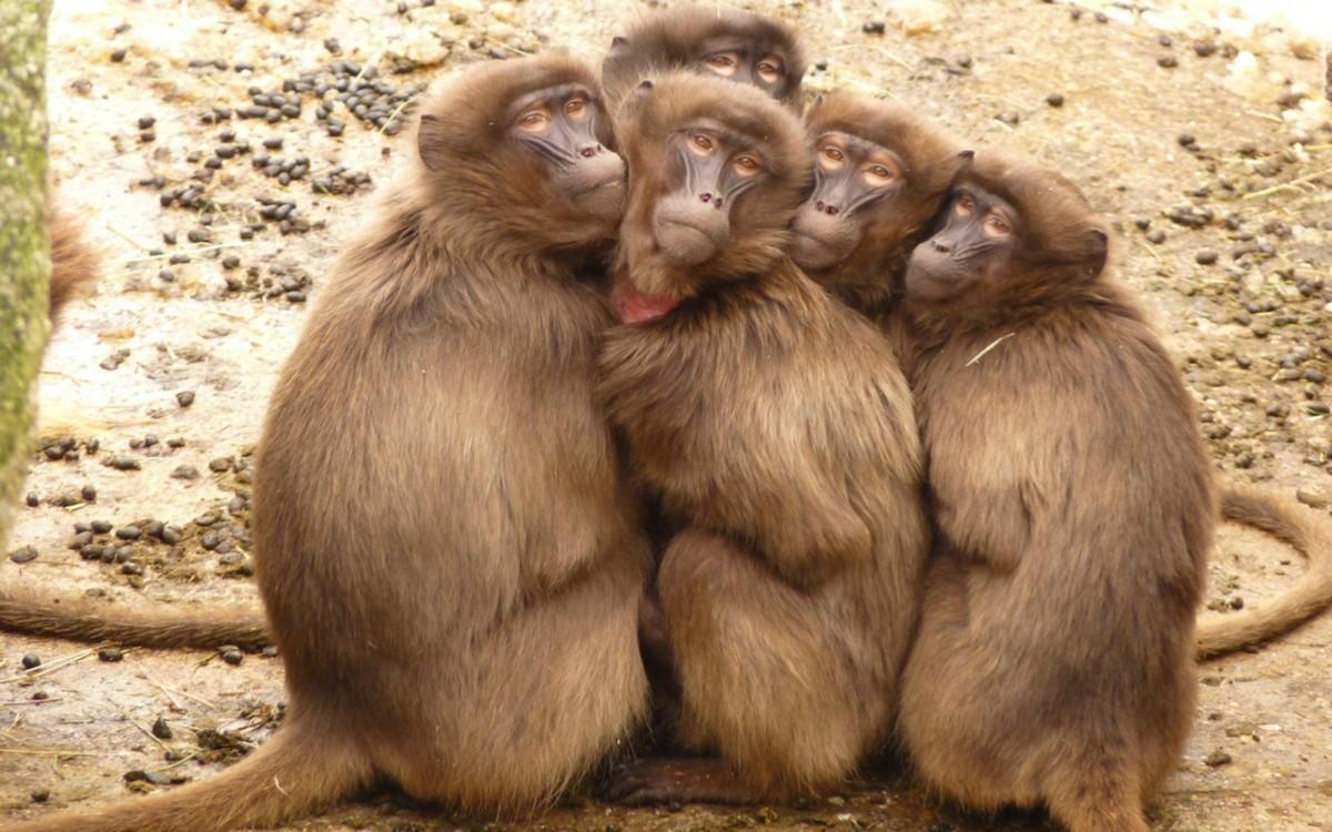 Дизельгейт - обезьяны вдыхали вредные выбросы